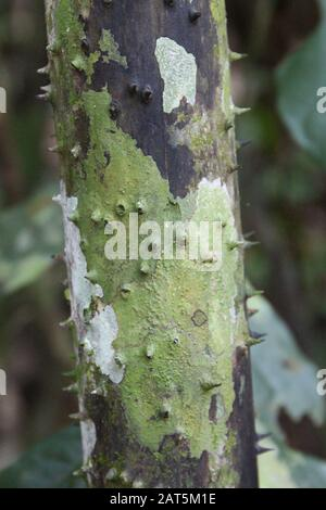 Close up of a thorny rooting branch of a Walking Palm, Socratea exorrhiza, in the Amazon rainforest in Tambopata, Peru - Stock Photo