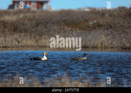 Male and female King eider ducks swimming on an arctic lake in the summer, found near Arviat Nunavut - Stock Photo