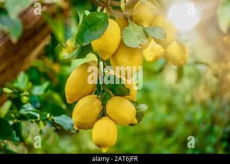 Focus on the lower lemons (Citrus limon) looking healthy and fresh, hanging from a tree in Italy on a summer day, with beautiful background light. - Stock Photo