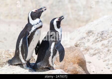 African penguin colony (Spheniscus demersus) at Boulders Beach, Simon's Town, Cape Town, South Africa
