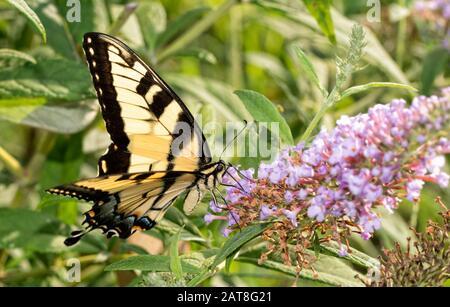 Eastern Tiger Swallowtail butterfly feeding on light violet Butterflybush flowers - Stock Photo