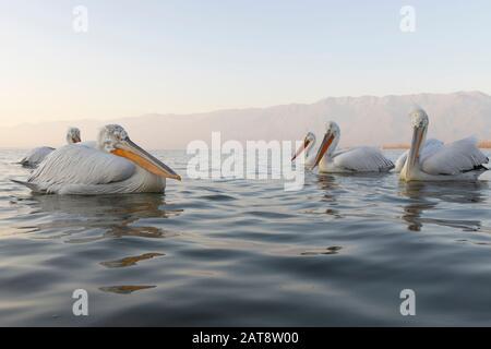 Dalmatian pelican from Kerkini Lake, Greece - Stock Photo