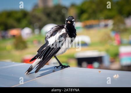 A black and white magpie bird sitting on an aluminium hand rail in the sunshine - Stock Photo