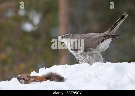 Goshawk, Accipiter gentilis, single adult female with dead Red Squirrel in snow. Taken February. Anjalankoski, S.E. Finland.