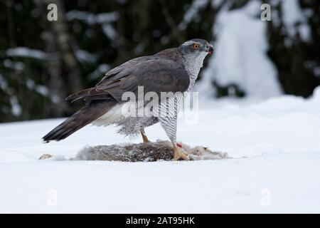 Goshawk, Accipiter gentilis, single adult female feeding on dead Brown Hare in snow. Taken February. Anjalankoski, S.E. Finland. - Stock Photo