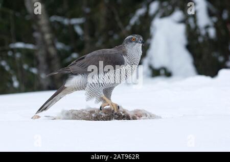 Goshawk, Accipiter gentilis, single adult female feeding on dead Brown Hare in snow. Taken February. Anjalankoski, S.E. Finland.