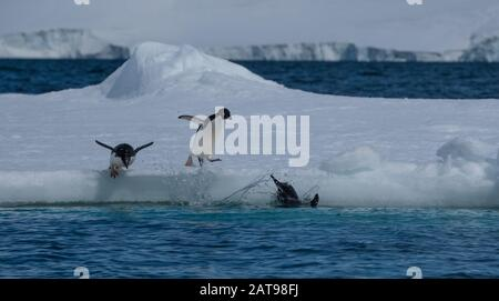 Adelie penguins on icebergs and icefloats along the coast of the Antarctic Peninsula, Antarctica