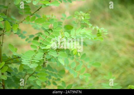 black locust - false acacia, Robinia pseudoacacia tree - Stock Photo