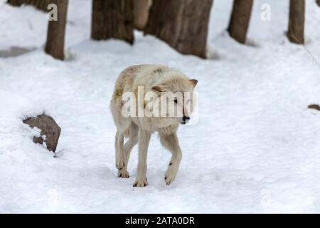 Grey wolf (Canis lupus)  also known in north america as Timber wolf in winter. - Stock Photo