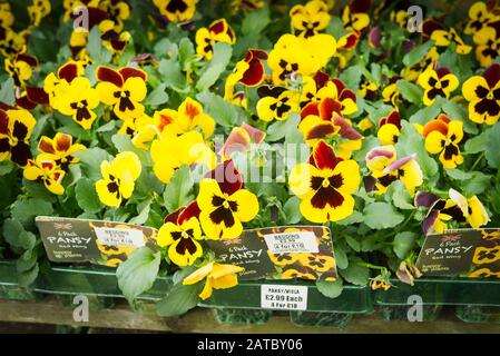 A selection of bedding pansies and violas plants for sale in an English garden centre - Stock Photo