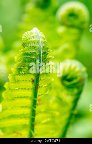 Close up of Shuttlecock fern, Matteuccia struthiopteris, unfurling in Spring with blurry images of curled fern fronds in background - Stock Photo
