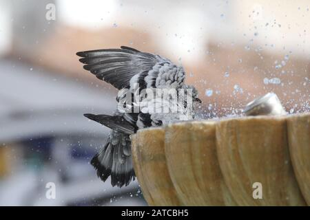 Feral Pigeon (Columba livia domestica) bathing in a water fountain in the town centre, Benalmádena, Fuengirola, Spain - October 2019 - Stock Photo