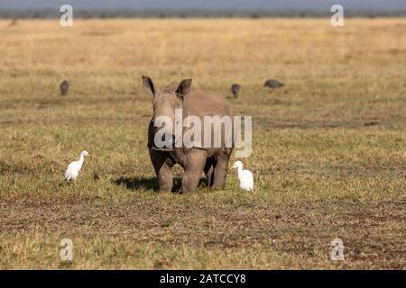 Southern White Rhinoceros (Ceratotherium simum simum) calf feeding on the savannah in Ol Pejeta Conservancy, Kenya - Stock Photo