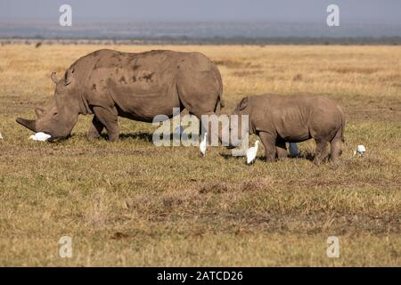 Southern White Rhinoceros (Ceratotherium simum simum) mother and calf on the savannah in Ol Pejeta Conservancy, Kenya - Stock Photo