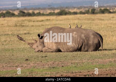 Southern White Rhinoceros (Ceratotherium simum simum) adult resting on the savannah in Ol Pejeta Conservancy, Kenya - Stock Photo
