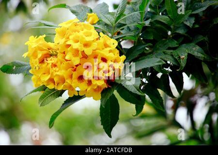 Gelbe Trompetenblume (Tecoma stans), Kyrenia, Türkische Republik Nordzypern