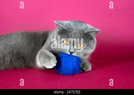 Cute grey British cat playing with a blue wool ball. Fat funny British cat on a pink background. - Stock Photo
