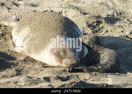 Mother elephant seal and newborn baby elephant seal on a beach in Northern California, San Simeon. - Stock Photo