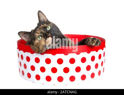 Tortoiseshell tortie torbie cat laying in a round white box with red polka dots peaking over the side, paw on box looking slightly above viewer. Isola - Stock Photo