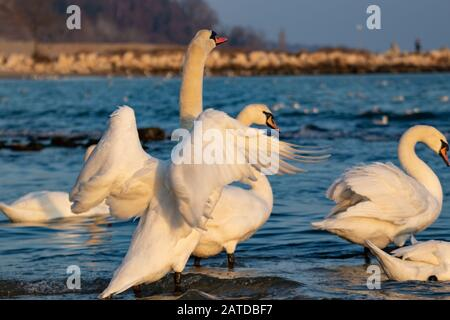Beautiful mute swan wings spread out in the blue water of Black Sea on nice sunny winter day,Varna beach,Bulgaria - Stock Photo