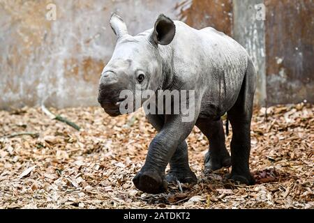 A baby male eastern black rhinoceros inside its enclosure at Folly Farm, Pembrokeshire, Wales. - Stock Photo