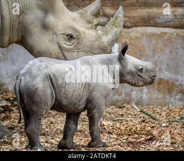 A baby male eastern black rhinoceros inside its enclosure with first-time mum Dakima, at Folly Farm, Pembrokeshire, Wales. - Stock Photo