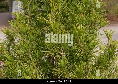 Summer Foliage of the Japanese Umbrella Pine Tree (Sciadopitys verticillata) in a Garden in Rural Devon, England, UK - Stock Photo