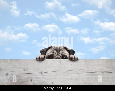 cute shy peekaboo pug puppy dog peeking, with paws on wooden fence banner, with blue sky background - Stock Photo