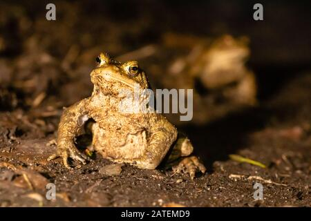 Male toad (Bufo bufo) being followed down a path in the nighttime migration to the breeding site near West Stow in Suffolk - Stock Photo