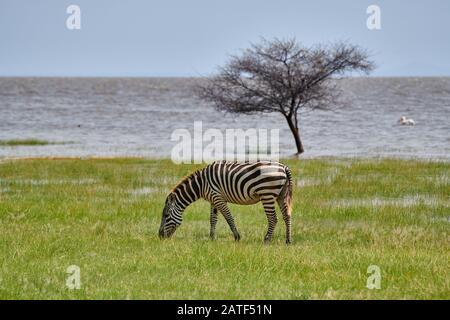 plains zebra (Equus quagga) grassing at Lake Manyara, Manyara National Park Tanzania, Africa - Stock Photo