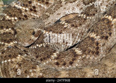 Western diamondback rattlesnake or Texas diamond-back, Texas-Klapperschlange, Westliche Diamant-Klapperschlange, Crotalus atrox, csörgőkígyó, venomous - Stock Photo