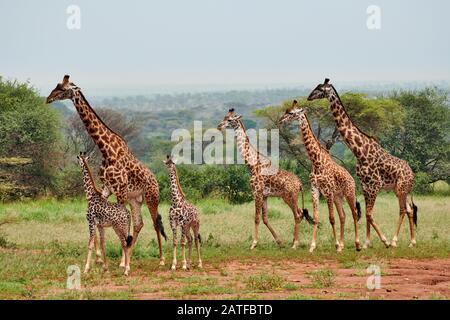 Massai giraffes 'Giraffa camelopardalis tippelskirchi' in Serengeti, Serengeti National Park, UNESCO world heritage site, Tanzania, Africa Stock Photo