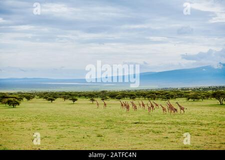 Massai giraffes 'Giraffa camelopardalis tippelskirchi' in Serengeti, Ngorongoro Conservation Area, UNESCO world heritage site, Tanzania, Africa Stock Photo