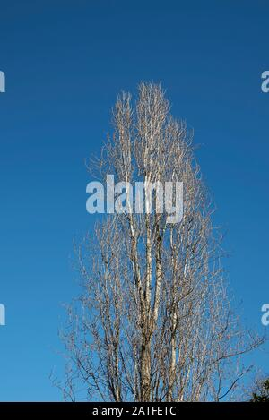 Populus nigra italica trunk in winter - Stock Photo