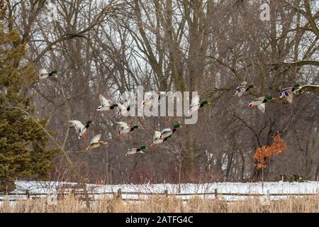 Duck. Flock mallard ducks in flight.Natural scene from conservation area in wisconsin. - Stock Photo