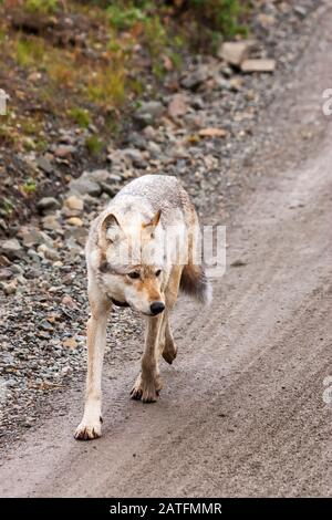 Gray wolf (Canis lupus) female walking on the park road. Alpha female of Grant Creek pack in Highway Pass, Denali National Park , Alaska - Stock Photo