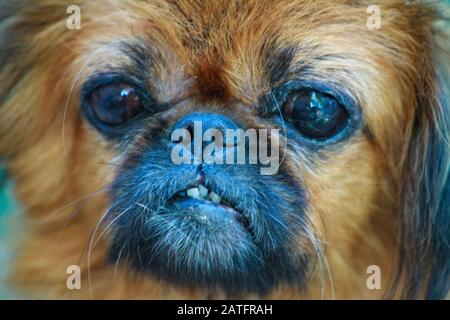 Sad old sick dog with tears in his eyes - Stock Photo