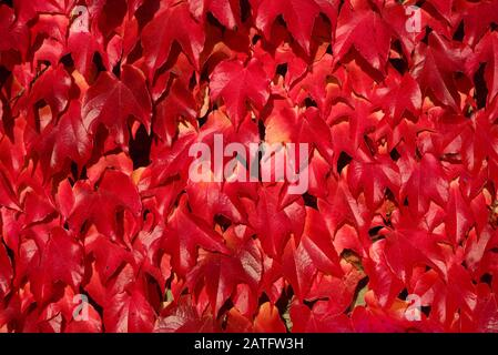 Close-up and background of bright red leaves of wild wine in autumn growing up on a wall