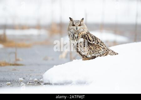 Siberian eagle owl is the biggest owl in the world - Stock Photo