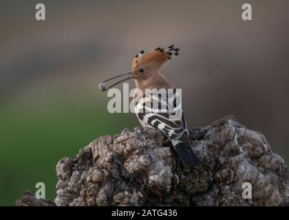 Hoopoe (Upupa epops), sitting on log with food in its bill, Hortobágy National Park, Hungary