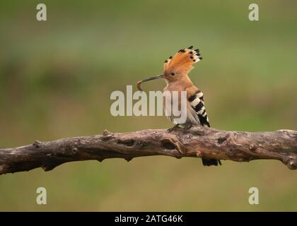 Hoopoe (Upupa epops), sitting on log, with food in its bill, Hortobágy National Park, Hungary
