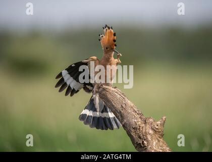 Hoopoe (Upupa epops), landing on branch with food in its bill, Hortobágy National Park, Hungary