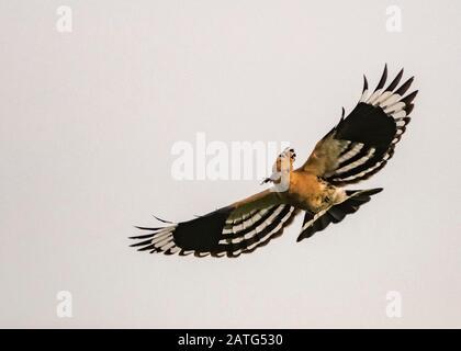 Hoopoe (Upupa epops), in flight, carrying food, Hortobágy National Park, Hungary