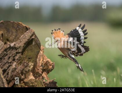 Hoopoe (Upupa epops), in flight with food in its bill, Hortobágy National Park, Hungary