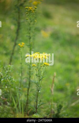 ragwort, Jacobaea vulgaris, Senecio jacobaea,  common ragwort. poisonous plant for animals in meadow - Stock Photo