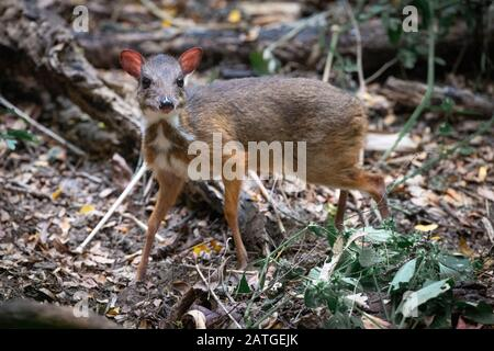 The lesser mouse-deer or kanchil (Tragulus kanchil), also known as the lesser Malay chevrotain, is a species of even-toed ungulate in the family Tragu Stock Photo