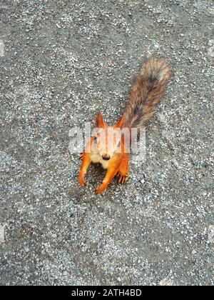 A beautiful red-haired squirrel with a fluffy tail sits on the pavement and smiles into the camera.