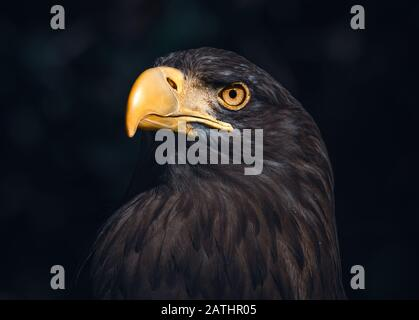 Atmospheric potrait of a Sea Eagle Stock Photo