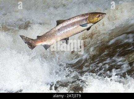 This female Atlantic Salmon, Salmo salar was trying to leap over a waterfall in a Scottish river. Dynamic and dramatic. - Stock Photo