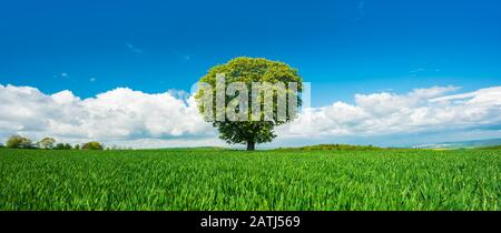 Large solitary horse chestnut (Aesculus) on a green field in spring, blue sky with clouds, Burgenlandkreis, Saxony-Anhalt, Germany - Stock Photo